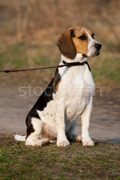 Beagle cucciolo cute seduta parco cane Foto d'archivio © remik44992