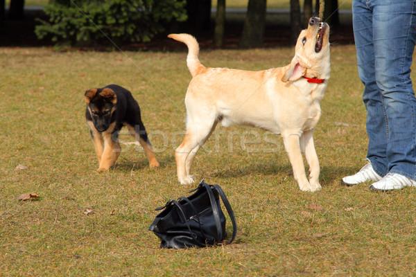 девушки собака играет Золотистый ретривер весны трава Сток-фото © remik44992