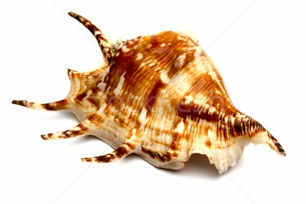sea souvenir a cockleshell  Stock photo © restyler