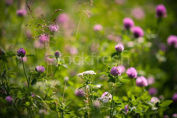 Czerwony koniczyna lata łące kwiaty dziedzinie Zdjęcia stock © restyler