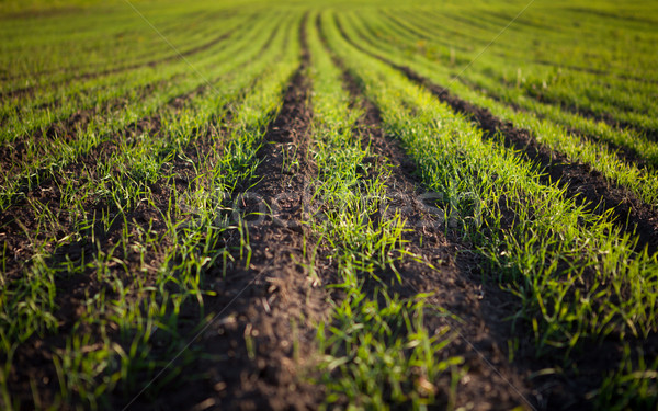 green field with plantlets Stock photo © restyler