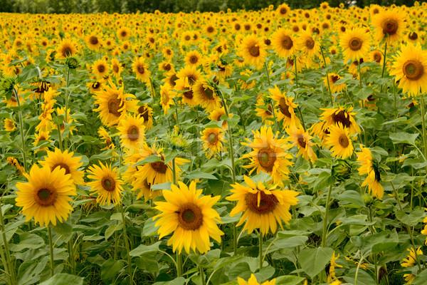 sunflowers field Stock photo © restyler