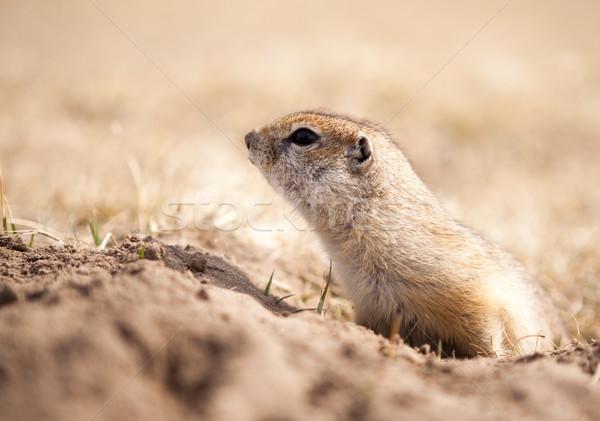 Grond eekhoorn portret naar uit Stockfoto © restyler