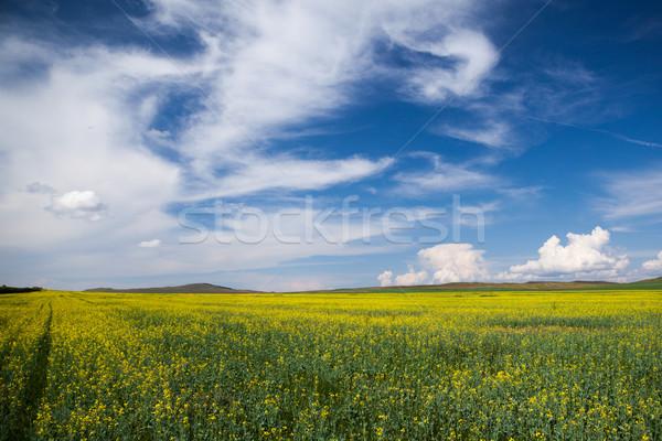 Rape Field Stock photo © restyler
