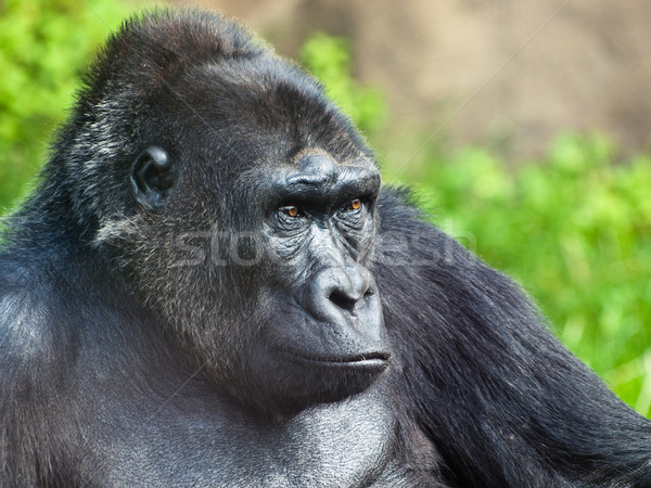 male gorilla Stock photo © reticent