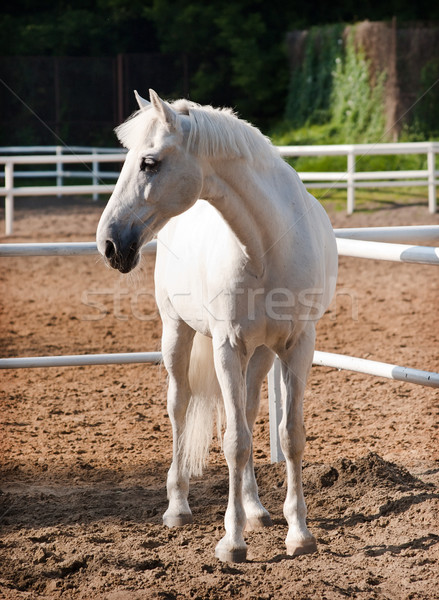 White Horse Stock photo © reticent