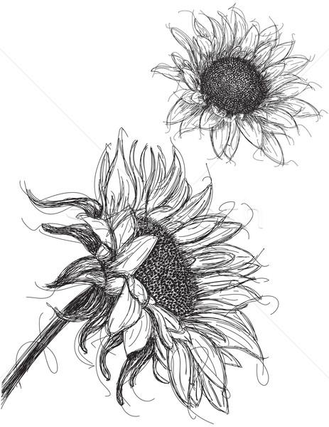 Słoneczniki kwiat charakter słonecznika roślin Zdjęcia stock © retrostar