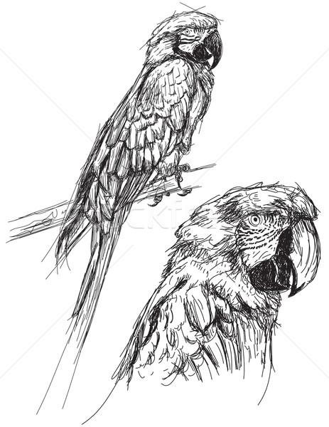 Papuga rysunek domowych szkic wektora clipart Zdjęcia stock © retrostar