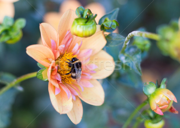 Bumblebee On Flower Stock photo © rghenry