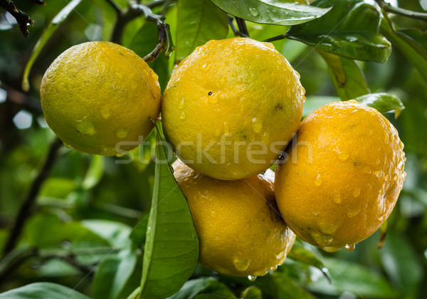 Rain washed Grapefruit Stock photo © rghenry