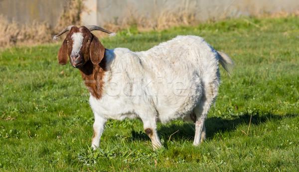 Anne keçi yakın Stok fotoğraf © rghenry