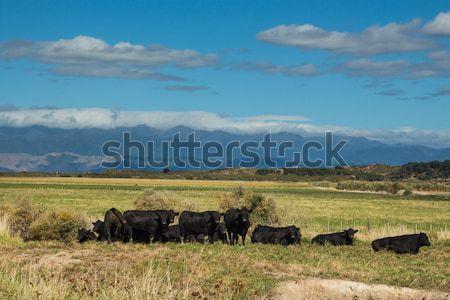 Herd Of Black Bulls Stock photo © rghenry