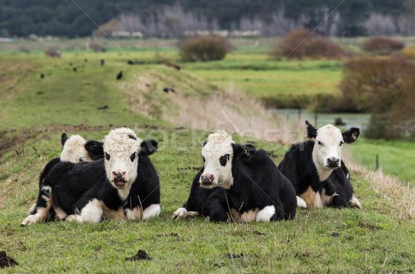 Gelukkig vee jonge witte rivier stoppen Stockfoto © rghenry