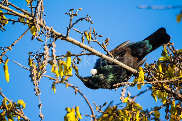 Tui Upside Down Stock photo © rghenry