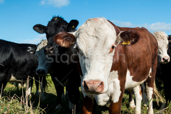 Friendly Cattle Stock photo © rghenry