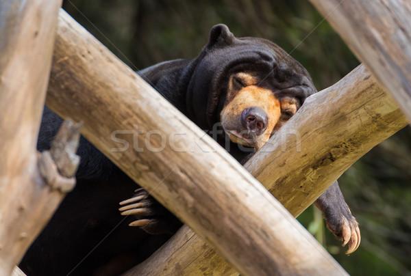 Sleeping Sun Bear Stock photo © rghenry