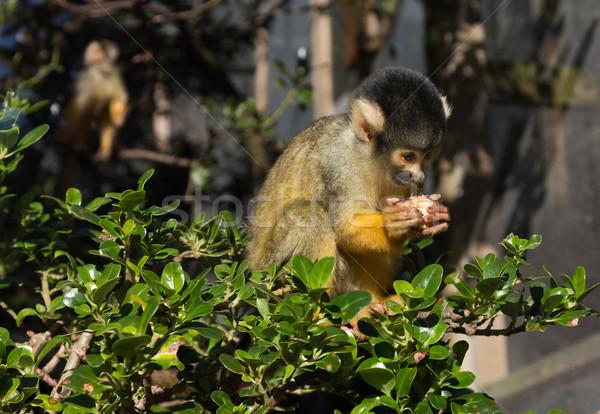 Sincap maymun sevimli oturma şube Stok fotoğraf © rghenry