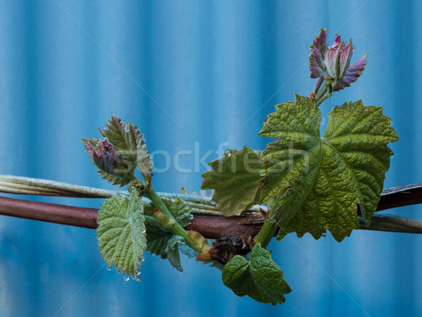 New Vine Growth Stock photo © rghenry