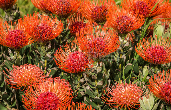 Leucospermum - Pincushion Protea flowers Stock photo © rghenry