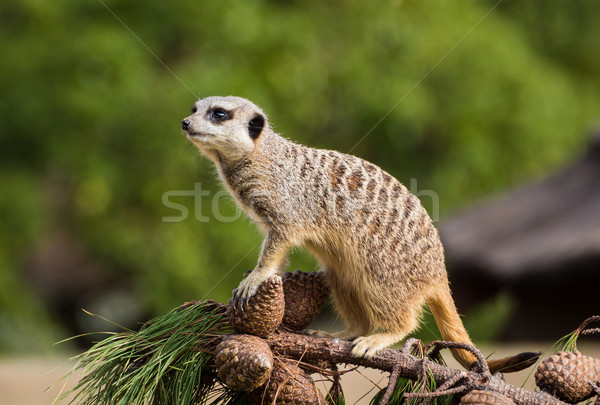 Pine Cone Meerkat Stock photo © rghenry