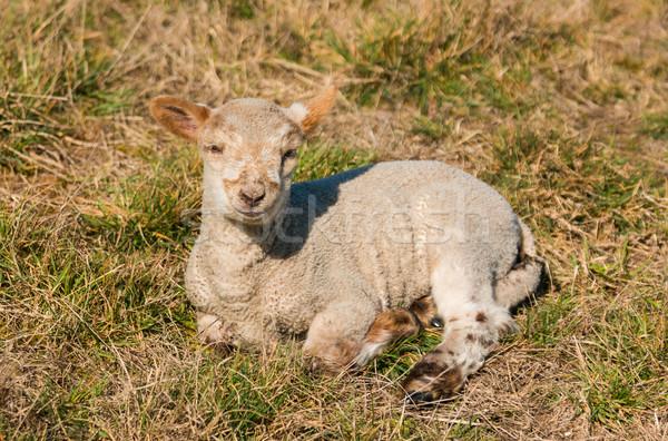 új bárány egy Új-Zéland pihen melegség Stock fotó © rghenry