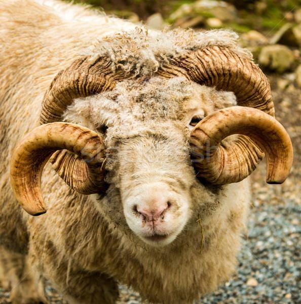 ビッグ 睡眠 ニュージーランド 羊 ペア ストックフォト © rghenry