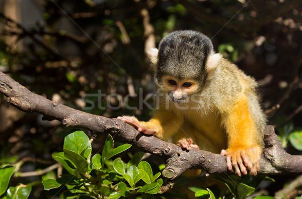 Mókus majom aranyos ül ág Stock fotó © rghenry