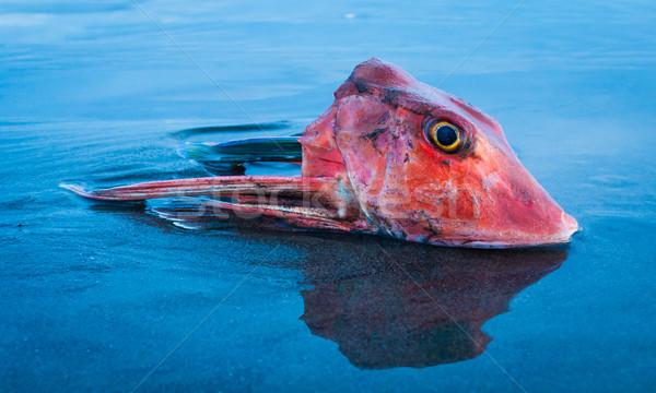 Rood vis hoofd een Stockfoto © rghenry
