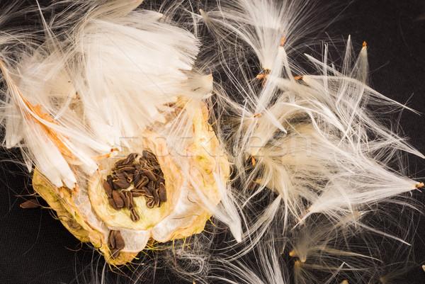 Cisne planta sementes abrir Foto stock © rghenry