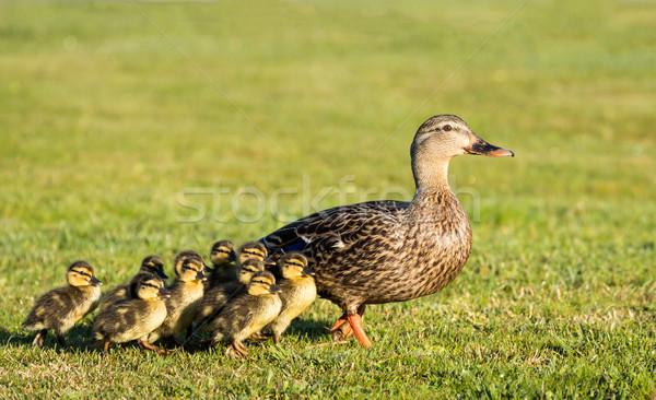 матери утки один 10 молодые Сток-фото © rghenry