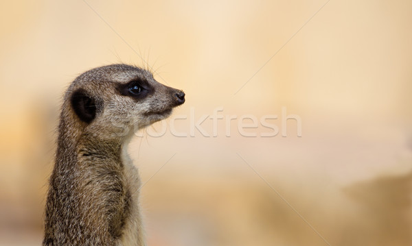 Meerkat Lookout Stock photo © rghenry
