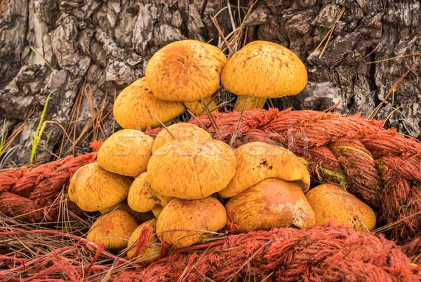 ロープ 菌 ツリー はちみつ 成長 松 ストックフォト © rghenry