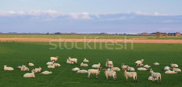 Sheep Waking Up Stock photo © rghenry