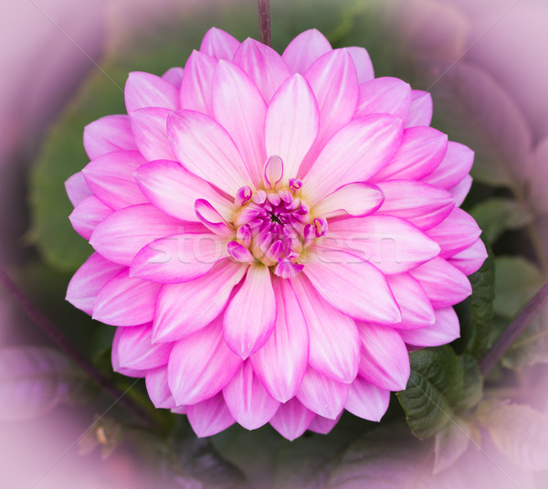 Pink Dahlia Flower Stock photo © rghenry