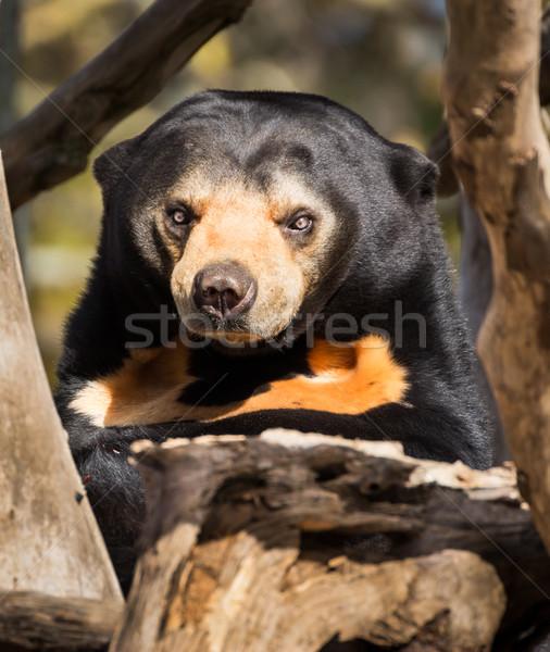 Mean Face Sun Bear Stock photo © rghenry