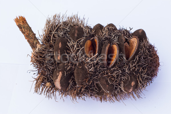 Silver Banksia Cone Stock photo © rghenry