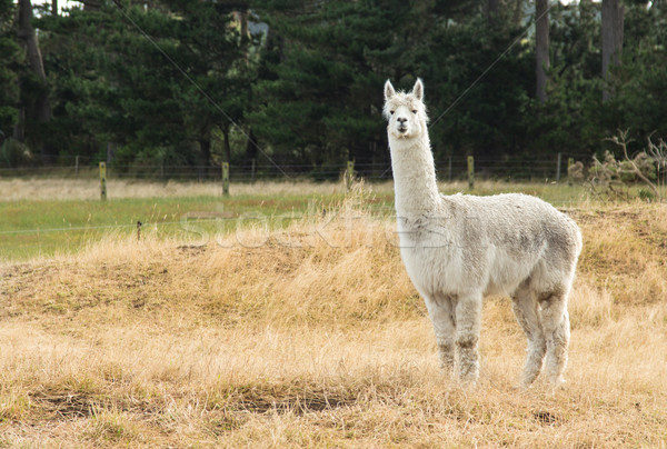 White Alpaca Stock photo © rghenry