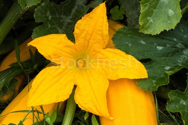 Yellow Zucchini Flower Stock photo © rghenry
