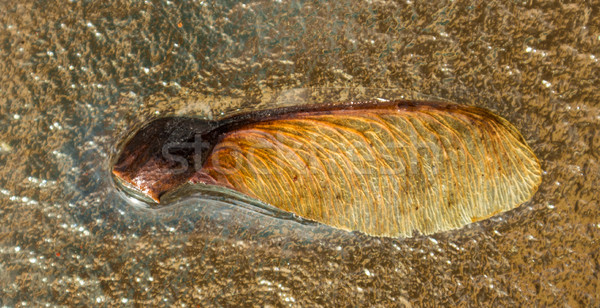 Seed Of Manitoba Maple Stock photo © rghenry