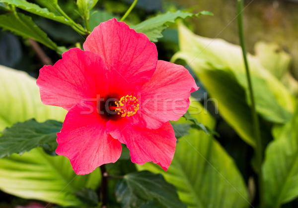 Red Hibiscus Flower Stock photo © rghenry