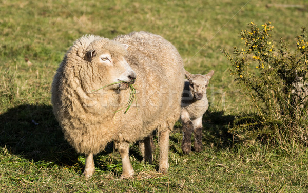 New Zealand Mother Sheep Stock photo © rghenry