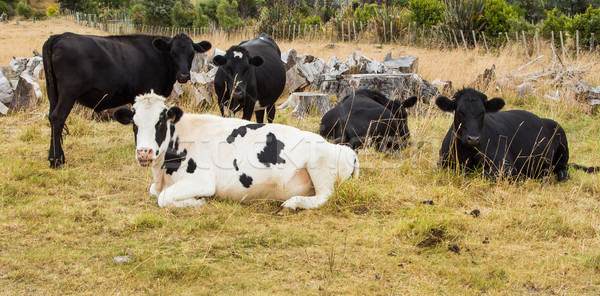 Bovins une vache animaux agriculture Photo stock © rghenry