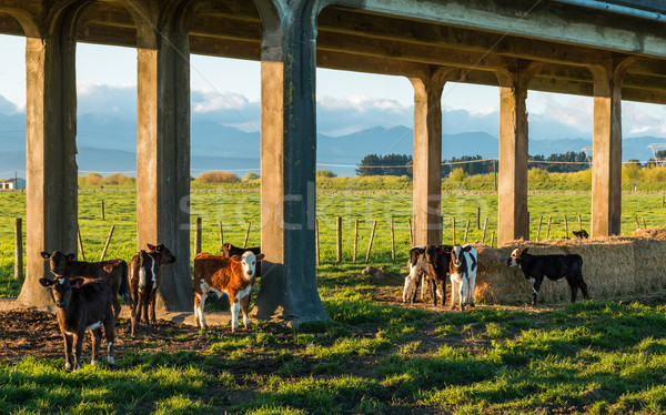 Trestle Bridge Calves Stock photo © rghenry