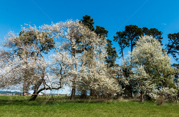 Trees of Spring Stock photo © rghenry