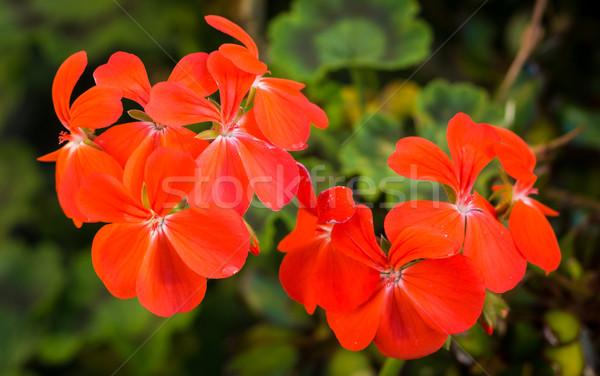 Bright Orange Geraniums Stock photo © rghenry