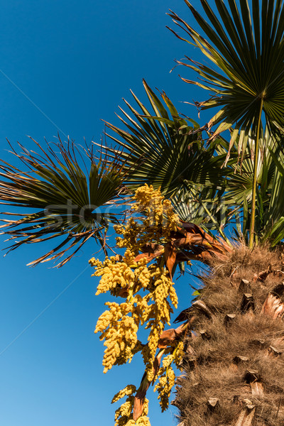 Chinese Fan Palm Stock photo © rghenry