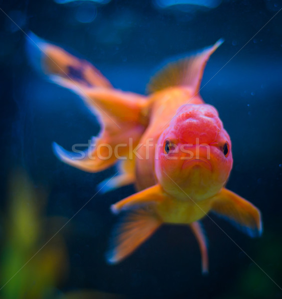 Oranda Goldfish stock photo © Ross Henry (rghenry) (#4526062