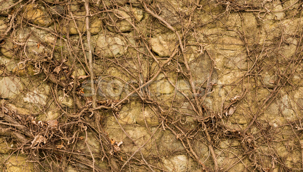 Vines Wall Stock photo © rghenry