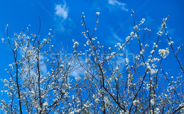 White Plum Tree Blossom Stock photo © rghenry