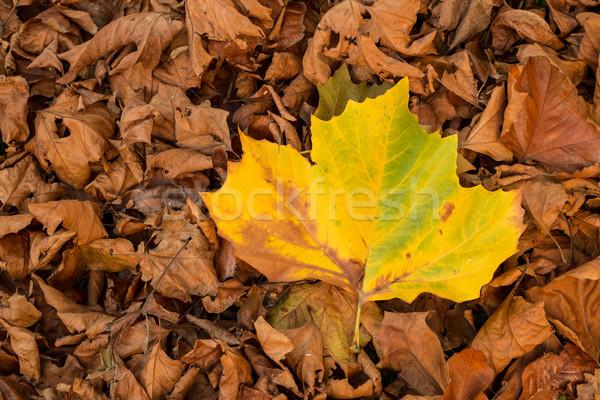 Een Geel blad groot Stockfoto © rghenry